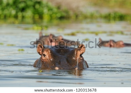 Hippopotamus in the lake Naivasha in kenya africa