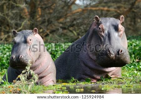 Hippopotamus in the lake Naivasha in kenya africa