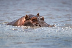 hippopotamus inhabits rivers, lakes and mangrove swamps, where territorial bulls preside over a stretch of river and groups of five to thirty cows and young.
