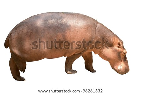 Hippopotamus isolated in waling motion on the ground.