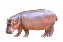 Hippopotamus isolated on white background.