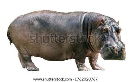 Hippopotamus isolated on white background Photo stock ©