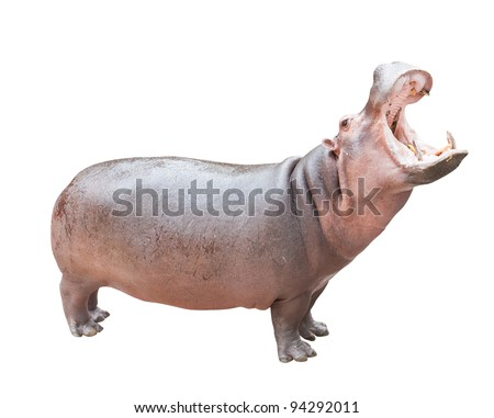 Hippopotamus isolated on white with clipping path