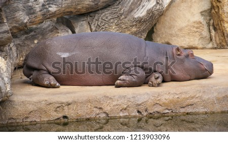 Hippopotamus lies resting near water midday heat drought #1213903096