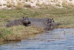 Hippopotamus on the river bank