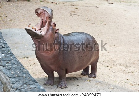Hippopotamus open mouth