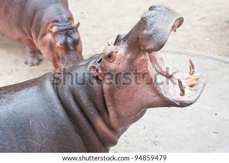 Hippopotamus open mouth
