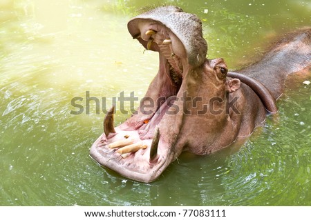hippopotamus open mouth in the pond