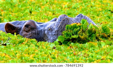 Hippopotamus pool in Ngorongoro crater