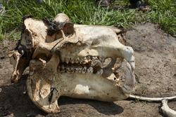 Hippopotamus skull, Okavango Delta, Botswana, Africa