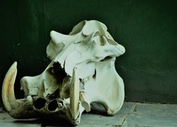 Hippopotamus Skull - This is Africa