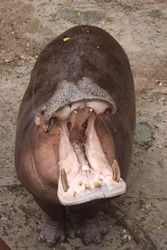 Hippopotamus soft focus stands with an open mouth and waits for a treat from tourists.