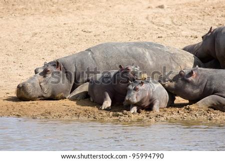 Hippopotamus, South Africa.