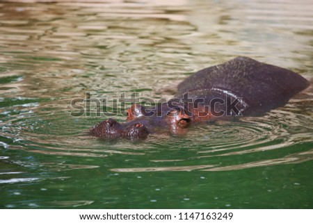 Hippopotamus Submerged In Pond #1147163249