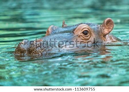 Hippopotamus submerged in water diagonally