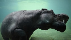 Hippopotamus underwater at a local zoo