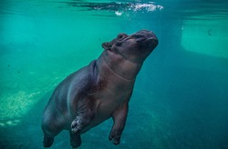 hippopotamus underwater hippo swimming close up