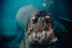 Hippopotamus underwater in a Zoo
