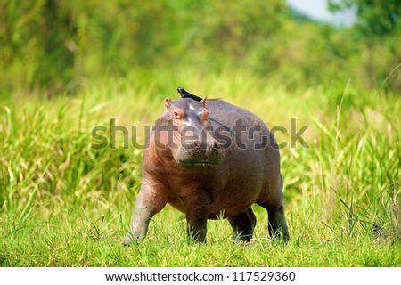 Hippopotamus walks with a bird