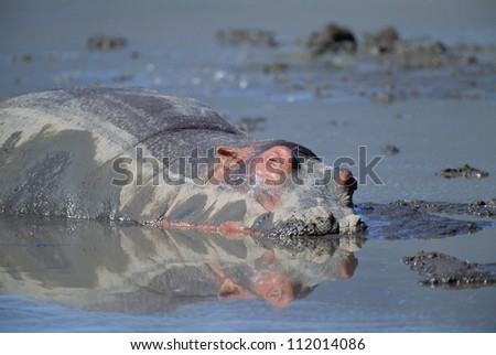 Hippopotamus wallowing in water - stock photo