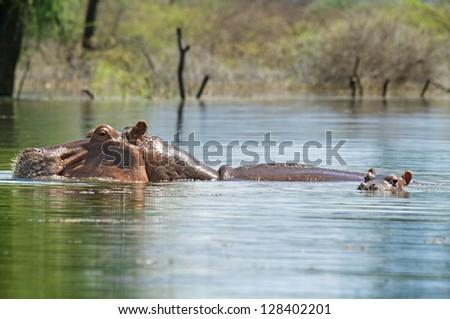 Hippopotamus with baby in lake Baringo in Kenya