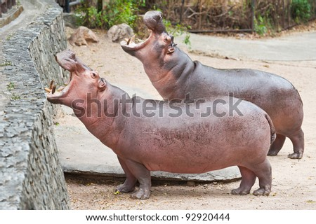 Hippopotamuses open mouth