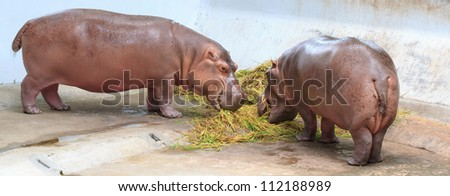 Hippos feeding at a zoo in Thailand.