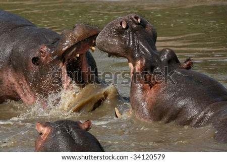 Hippos Fighting - Serengeti Wildlife Conservation Area, Safari, Tanzania, East Africa