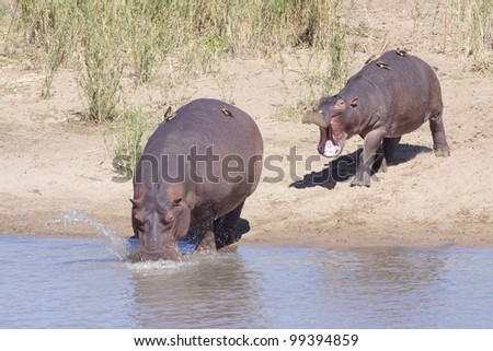 Hippos (Hippopotamus amphibius) entering the water, South Africa