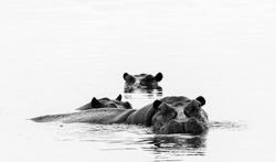 Hippos (Hippopotamus amphibius) in a water hole, Okavango Delta, Botswana