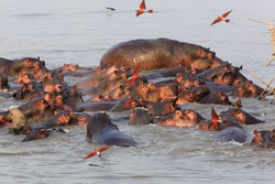 Hippos in the South Luangwa National Park - Zambia