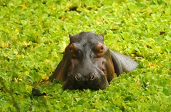 Hippos live in the rivers and lakes of Colombia