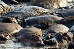 Hippos spend the day resting and wallowing in the pool at Ikuu in Katavi National Park. The muddy swamp is essential to the wellbeing of many hundreds of hippos over the hot dry season.
