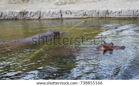 Hippos submerged in water #738855166