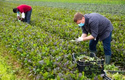Hired workers in protective medical masks harvest mustard leaf on farm field