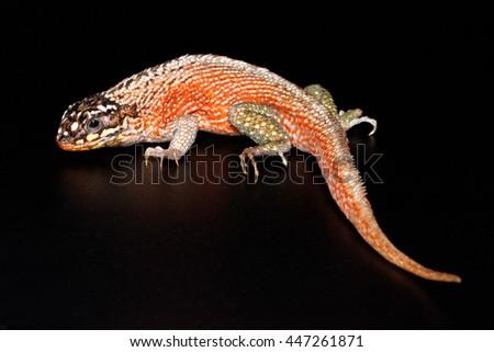 Hispaniolan masked curly-tailed lizard (green-legged or jewelled) (Leiocephalus personatus) close-up isolated on black background