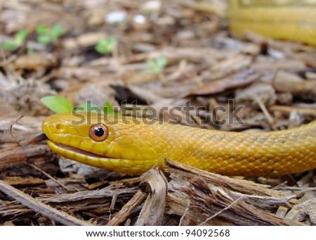 Hissing scary snake - Yellow Rat Snake, Pantherophis obsoleta quadrivittata - stock photo