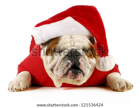 ho ho ho santa - english bulldog with jolly expression laying down on white background