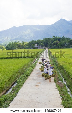 HOA BINH VIET NAM June 1st 2014 Group of farmer harvest paddy on fields.Rice cultivation is a long tradition of people in rural Vietnam