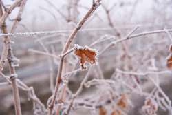 Hoar frost on plants, cold winter morning, foggy morning