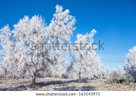 Hoarfrost covered trees in winter grove