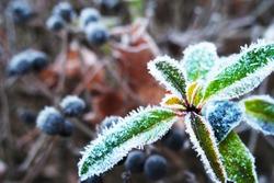 hoarfrost on a leaf, frozen twig, blurred background