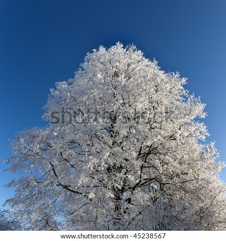 Hoarfrost on branches of a high tree. The pure dark blue sky. Coldly