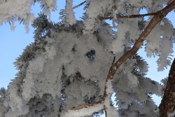 Hoarfrost on evergreen branch when looking up at it in Manitoba, Canada