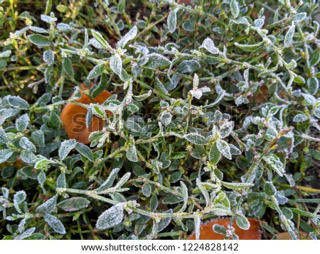 Hoarfrost on the grass knotweed (Polygonum aviculare)