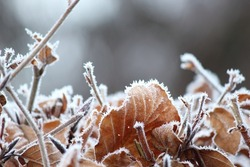 Hoarfrost on withered leaves