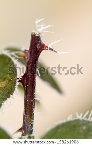hoarfrosted rose thorn