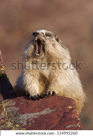 Hoary Marmot yawning wide open mouth, along hiking trail in Glacier National Park