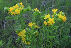 Hoary Puccoon Native Wildflower, Lithospermum canescens, found at Wild River State Park, Chisago Co., Minnesota near Taylors Falls, MN.