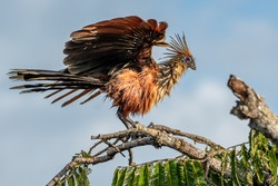 Hoatzin (Opisthocomus hoazin), endemic bird of the Amazon Region perched on the branch, Cuyabeno wildlife reserve, Ecuador